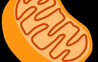 cartoon mitochondrion