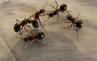 Queen ants